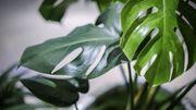 Plante d'intérieur du mois: le monstera
