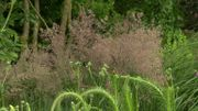 Zoom sur le Calamagrostis x acutiflora 'Overdam', une graminée qui en jette