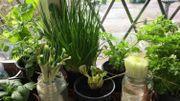 Ces plantes et légumes que vous pouvez faire repousser indéfiniment
