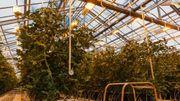 Dans les serres, tomates et poivrons rougissent dans une ambiance à plus de 20°C. L'eau géothermique circule sous les plantes et un soleil artificiel est recréé grâce à l'électricité verte.