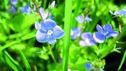 À la découverte des plantes comestibles de Gaume