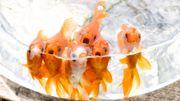 L'idée du poisson rouge dans le bocal… On oublie!