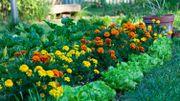 Plantez des  tagètes près de vos tomates !