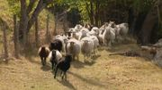 La Vallée du Geer et les bergers de moutons : une longue histoire commune