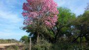 Un arbre du Gran Chaco en plein hiver