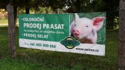 Les élevages porcins n'ont pas été touchés en Tchéquie
