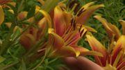 Amour de plantes : Le lys, la fleur royale