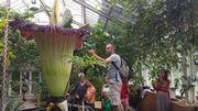Vite, l'Arum Titan est en fleur au Jardin botanique de Meise!