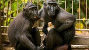 Quand une maman singe adopte un bébé poulet...
