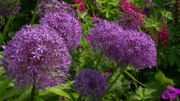 Amour de plante : l'Etoile de Perse, un ail d'ornement