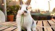 Un lapin à la maison ? : quelques conseils avisés pour l'accueillir dans les meilleures conditions