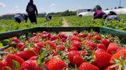 Pas de Pentecôte à Gerpinnes, pour les fraises, il faut d'abord les récolter