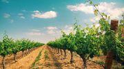 Le changement climatique agit durement sur les vignes