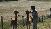 Anne-Sophie élève ses alpagas pour la zoothérapie depuis deux ans à Wanze (Province de Liège)