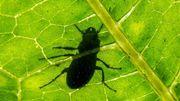 Le scarabée indestructible : ses secrets révélés