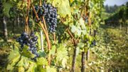 Le vin bio représente 8 à 12% de la production viticole mondiale