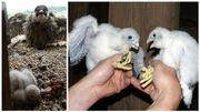 Dottignies : engouement citoyen pour les faucons pèlerins