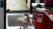 Des poules à l'adoption en région liégeoise