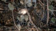 Brésil : rescapé des flammes, un jaguar retrouve son Pantanal