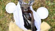 Un kangourou rescapé d'un feu de forêt, le 9 janvier 2020 près de Sydney, en Australie.