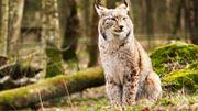 """Disparu depuis plusieurs centaines d'années, un """"Lynx"""" a été photographié en Belgique et il est wallon!"""