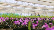 Ce ne sont pas moins de 500 000 plantes d'orchidées in vitro qui sont produites chaque année et 100 000 plantes qui sont amenées à maturité chaque année.