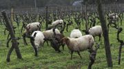 A quatre pattes dans la vigne pour soulager les sols