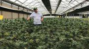 #LeScan : bientôt du cannabis suisse en vente libre en Belgique?