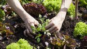 Permaculture: les mauvaises associations de plantes au potager