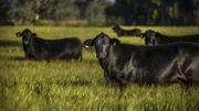 Découvrez la viande tendre de la black angus grâce à la Ferme de Voroux
