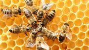 Il y a des abeilles dans votre jardin, surtout, ne les chassez pas!
