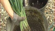 Astuce pour une bonne reprise des poireaux