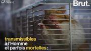Quelles sont les maladies que nos animaux de compagnie peuvent nous transmettre?