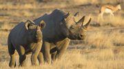 L'Homme aux Philippines dès 700.000 ans? La piste du rhinocéros...