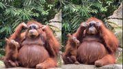 Vidéo insolite: avez-vous déjà vu un orang-outan porter des lunettes de soleil ?