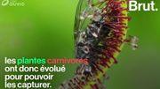 Comment les plantes carnivores dévorent-elles leurs proies?