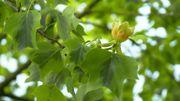 Amour de plantes : Liriodendron tulipifera 'Aureomarginatum'