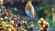 oiseau + arbustes à baies