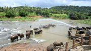Un gardien arrose les éléphants d'eau lors de leur bain quotidien dans la rivière au sanctuaire d'éléphants de Pinnawala, le 11 août 2020.