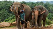 Un gardien s'occupe d'un groupe d'éléphants au sanctuaire d'éléphants de Pinnawala, le 11 août 2020.