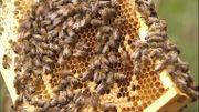Néonicotinoïdes: les betteraves belges recourent toujours à ces insecticides interdits par l'Europe