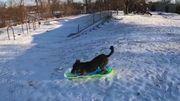 Knox, le chien qui fait de la luge tout seul