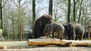Un des éléphanteaux du parc Pairi Daiza