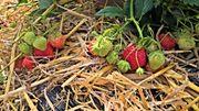 À Ittre, on cultive les fraises en pleine terre et sans pesticide.