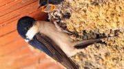 Bâti et biodiversité: accueillir les chauves-souris, hirondelles, martinets ...