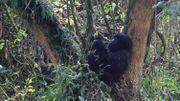 RDC: appel au retrait des armées congolaise et rwandaise du sanctuaire des gorilles