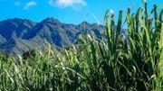 Plus de 700 Belges ont fait le choix de vivre à La Réunion pour son cadre de vie exceptionnel et son climat, à l'ombre des champs de canne à sucre.