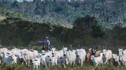 Les élevages bovins extensifs ont largement contribué à la déforerstation