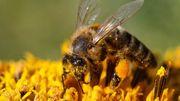 Des abeilles pour préserver l'environnement et développer l'économie locale en Afrique du Sud