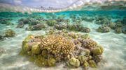 Les récifs coralliens, des barrières de protection fragilisées par l'érosion des sols marins (étude)